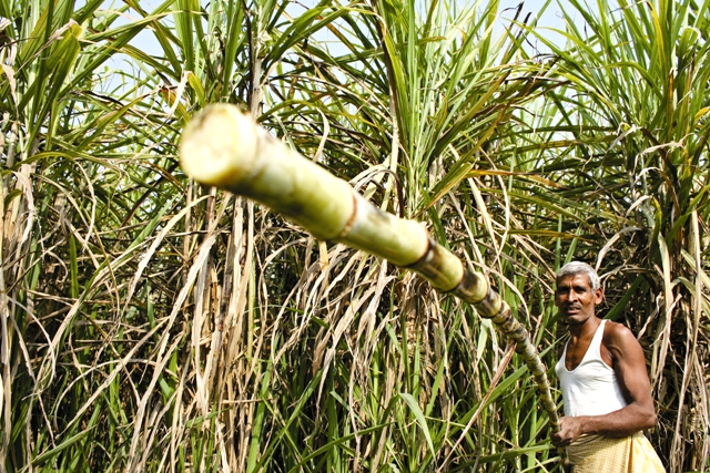 Sugarcane farmer by Shailendra (8)web
